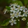 I think this is: Swamp Dewberry (Rubus hispidus)