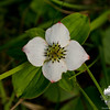 Late bloomer-Bunchberry (Cornus canadensis)