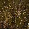 Cotton Grass (Eriophorum vaginatum)