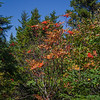 Mountain Ash is the only color.