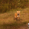 Base Road Fox. Red Fox (Vulpes vulpes)