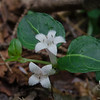 Partridge-berry (Mitchella repens)...