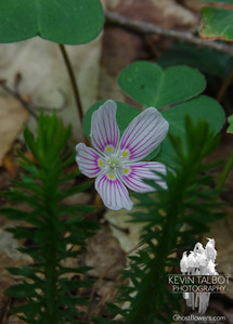 Common Wood Sorrel (Oxalis montana)...
