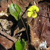 Round-leaved Yellow Violet (Viola rotundifolia)