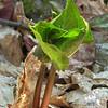 Emerging Trillium. Wake Robin Trillium (Trillium erectum)