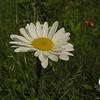 Ox-eye Daisy (Chrysanthemum leucanthamum)