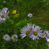 Possibly: New England Aster (Symphyotrichum novaeangliae)