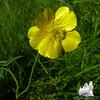 Common Buttercup (Ranunculus acris)