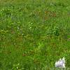 Meadow along Livermore Road. Orange Hawkweed (Hieracium aurantiacum) Cow Vetch (Vicia cracca)
