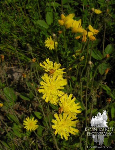 Yellow Hawkweed (Hieracium caespitosum)