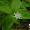 Still a Starflower or two between summits. Starflower (Trientalis borealis)