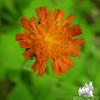 Orange Hawkweed (Hieracium aurantiacum) along the trail on the way out.
