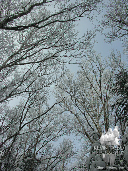 Frosted birches 1.