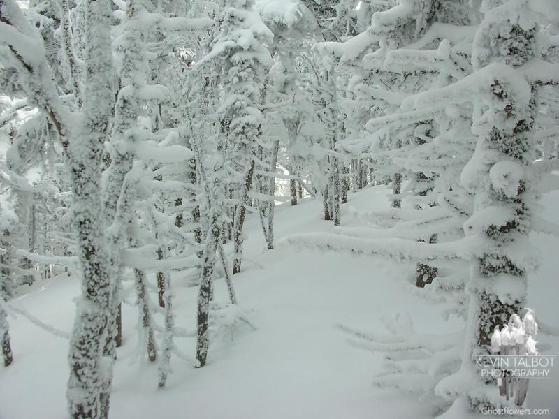 Snow encrusted trees 1.
