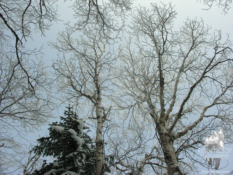 Frosted birches 3.