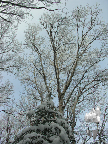 Frosted birches 2.