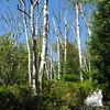 Trail through dead birches.