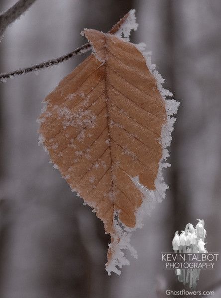 A beech leaf refuses to give in to winter.