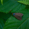 Virginia Ctenuchid Moth (Ctenucha virginica)
