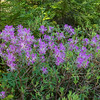 We began to see this all along the trail-Rhodora (Rhododendron canadensis)