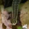 Judy's new friend- Common Garter Snake (Thamnophis sirtalis)