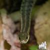 Judy's new friend- Common Garter Snake (Thamnophis sirtalis)