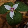 Painted Trillium (Trillium undulatum) along the Brook Trail...