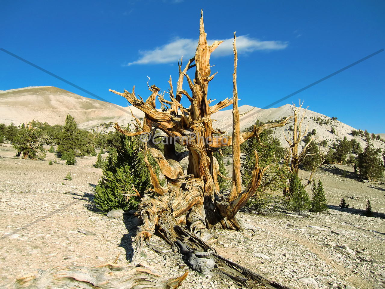 A spectacular Ancient Bristle Cone Pine in the Patriarch Grove, White Mountains, California.