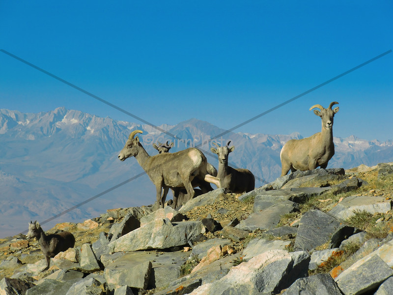 While hiking the truck road to the summit, we found ourselves surrounded by a heard of Nelson Big Horn sheep.  It was an amazing experience.  We asked the hiker before us and the hikers after us and no one else saw them.  You know that saying about time and place...