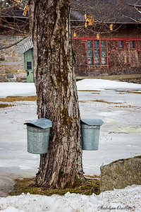 Collecting the Maple Sugar