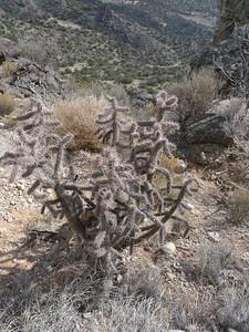 Walking stick cholla (Opuntia imbractica) on the canyon rim.