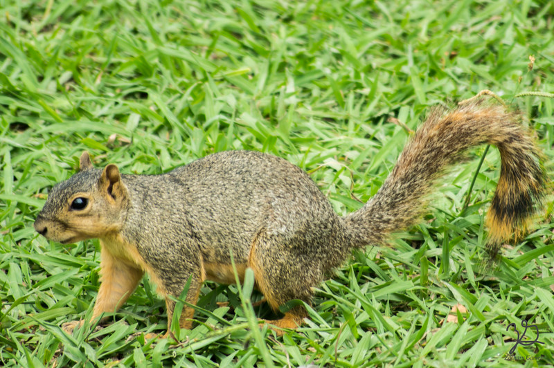 White Rock Squirrel