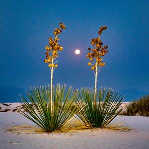 Soapstone Yucca