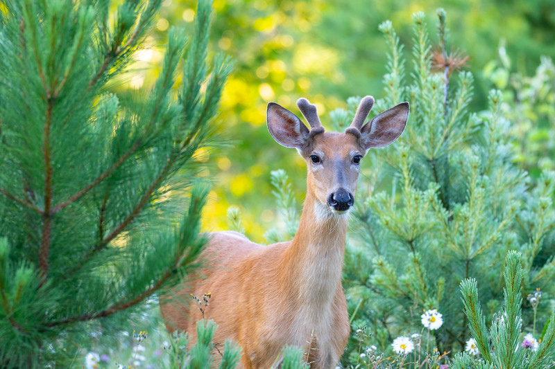MAY | Whitetailed Deer, Near Isabella