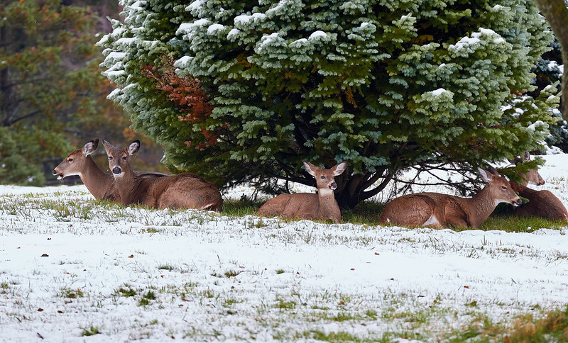 Sheltering White Tails