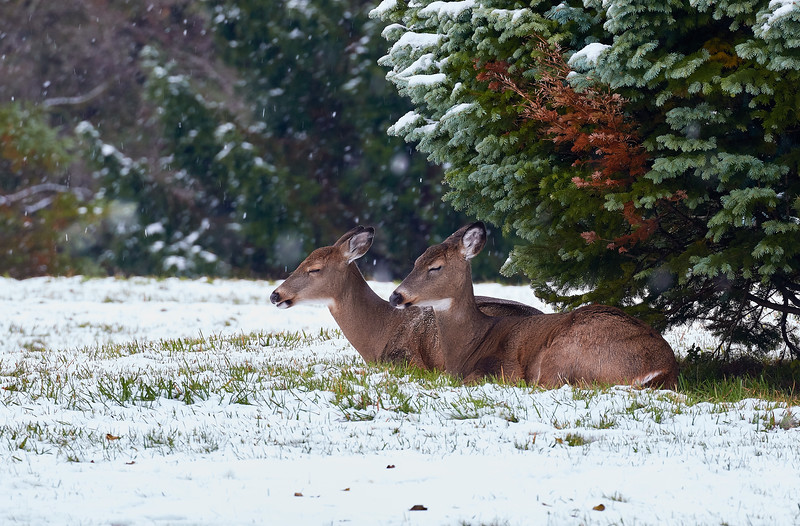 Snoozing  White Tails