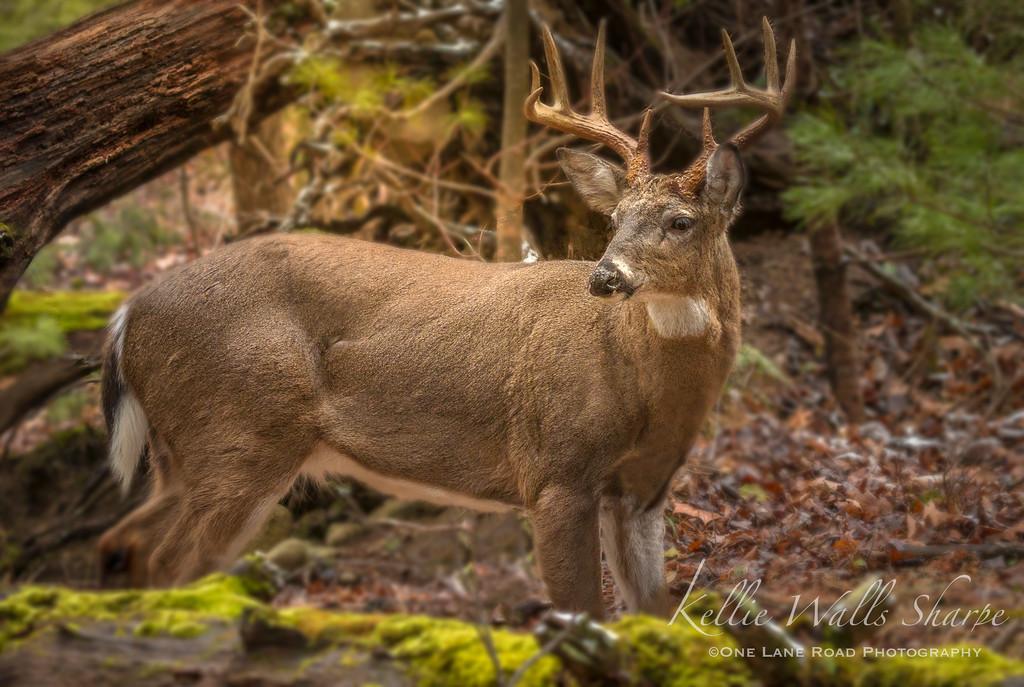 10pt Buck .. Cades Cove