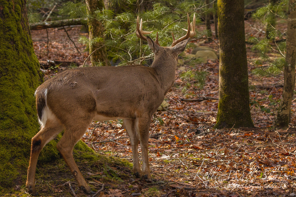 Buck with tine marks on sides .. Cades Cove