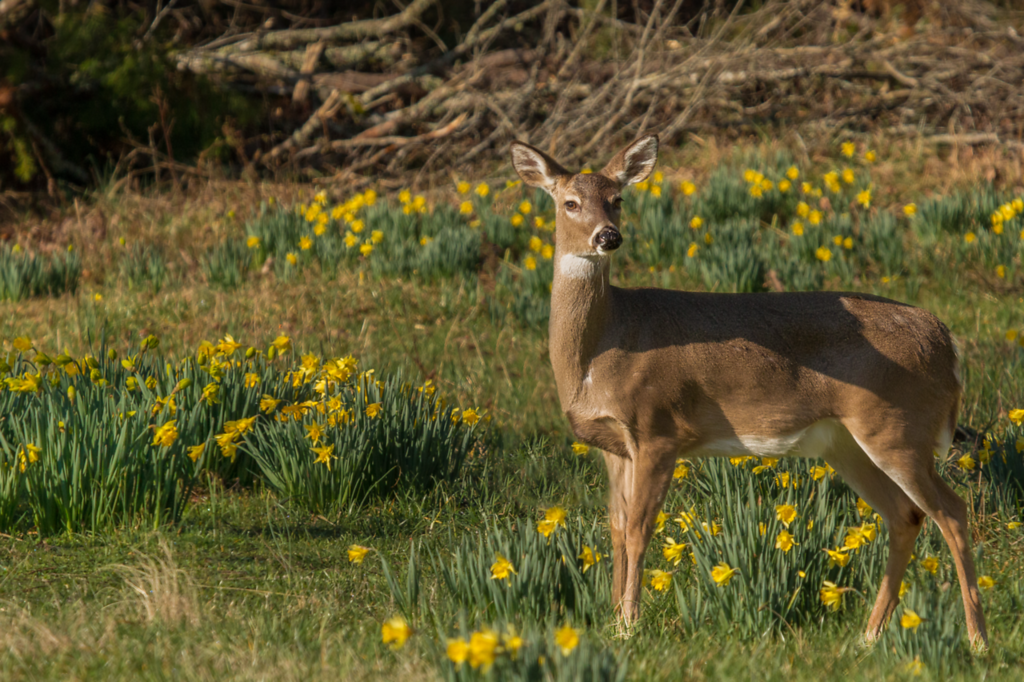 Deer and Daffodils in Cades Cove