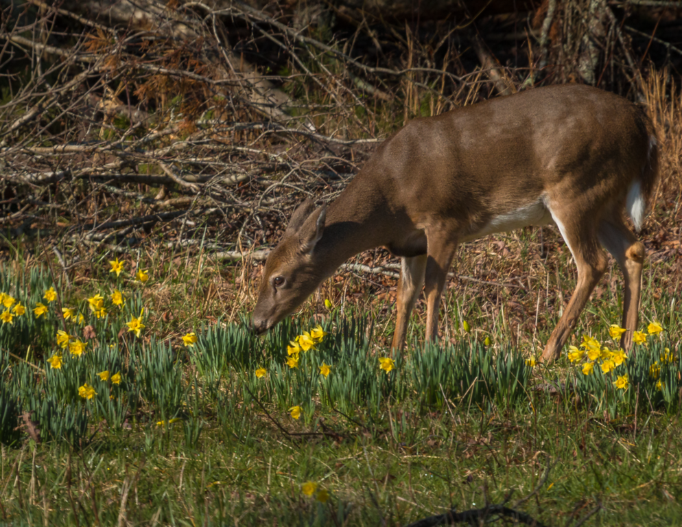Deer in Daffodils ... Cades Cove