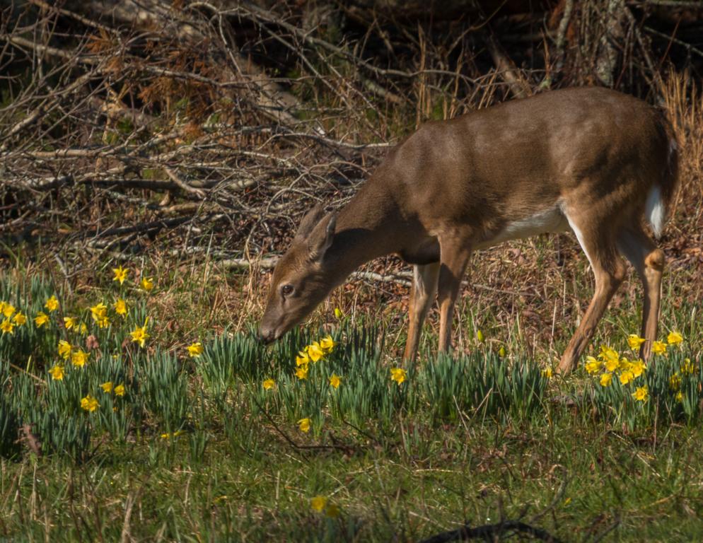 Deer in Daffodils ... Cades Cove