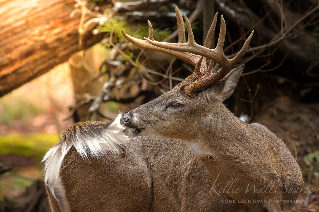 Buck Grooming .. Cades Cove