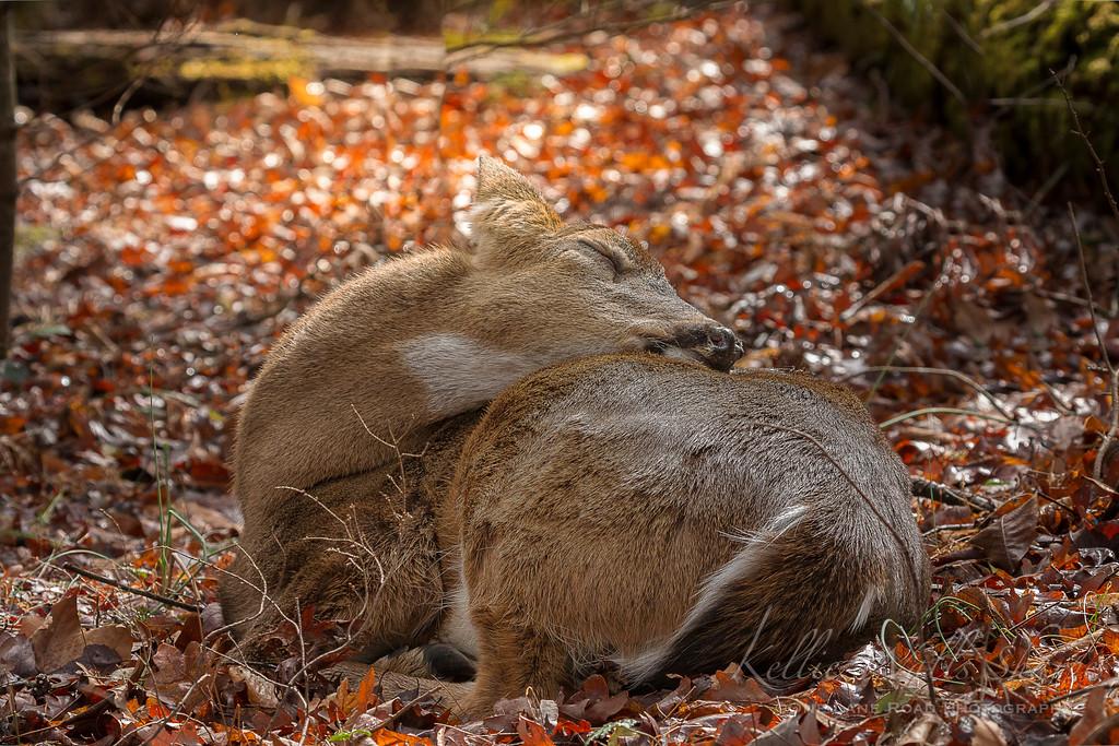 Buck resting after a long rut season