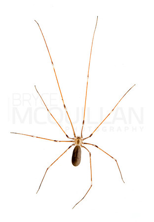 Pholcus phalangioides (cellar spider)