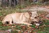 lying dog gnaw bone