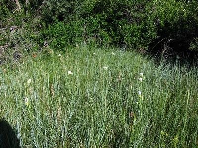 Liliaceae (Lily) - Calochortus gunnisonii - Gunnison's Mariposa Lily