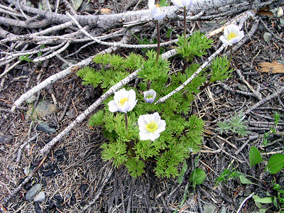 Ranunculaceae (Buttercup) - Anemone occidentalis - Western Pasque Flower