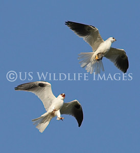 White Tailed Kite Food Exchange