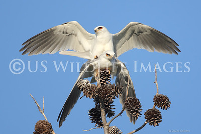 White-Tailed Kites Mating