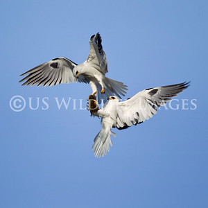 White Tailed Kite Exchange